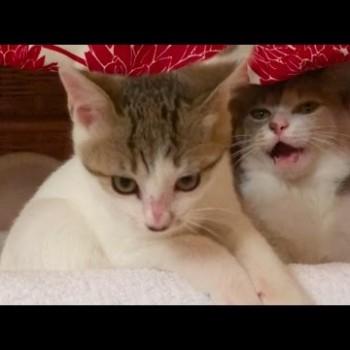 先住猫のご機嫌とりに失敗した新入り猫