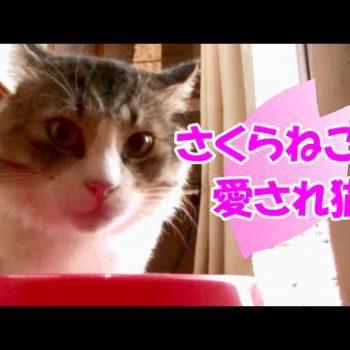 保護猫ボス吉~さくらねこは愛され猫