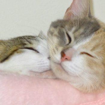 【どうぶつ基金】やっぱり一緒に寝たい猫